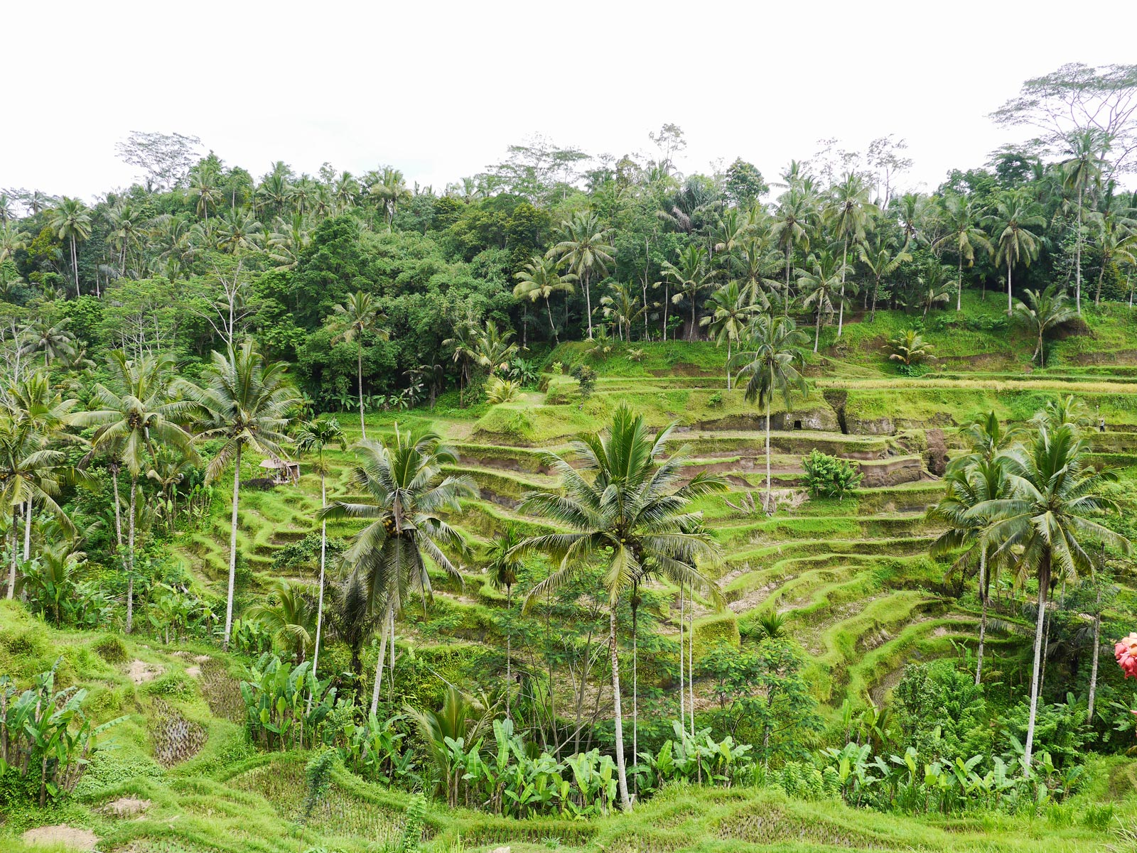 Admiring the Pretty Tegallalang Rice Terraces in Ubud - Bali, Indonesia