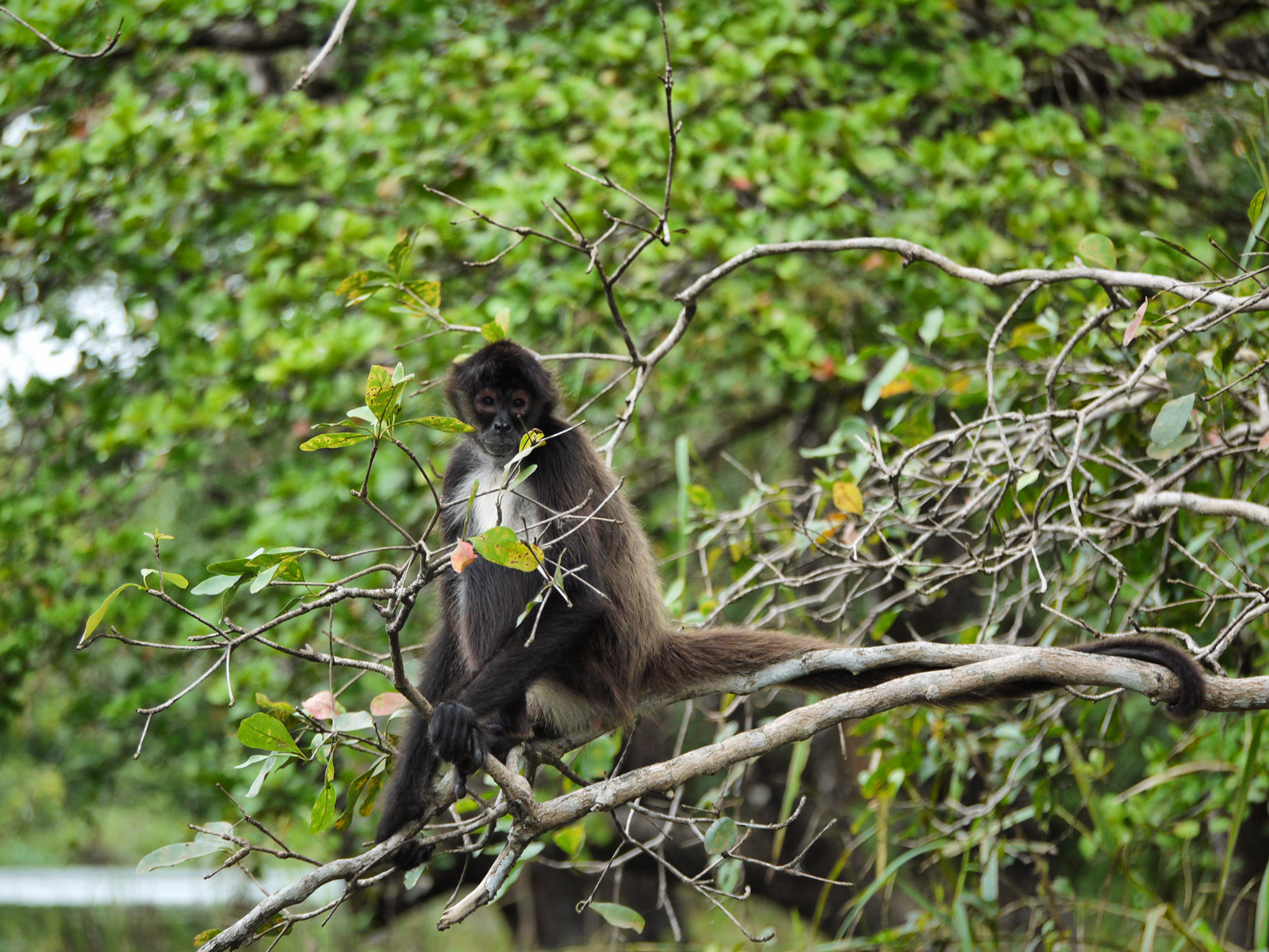 Feeding the Spider Monkey on the Way Back From Lamanai - Belize, Belize