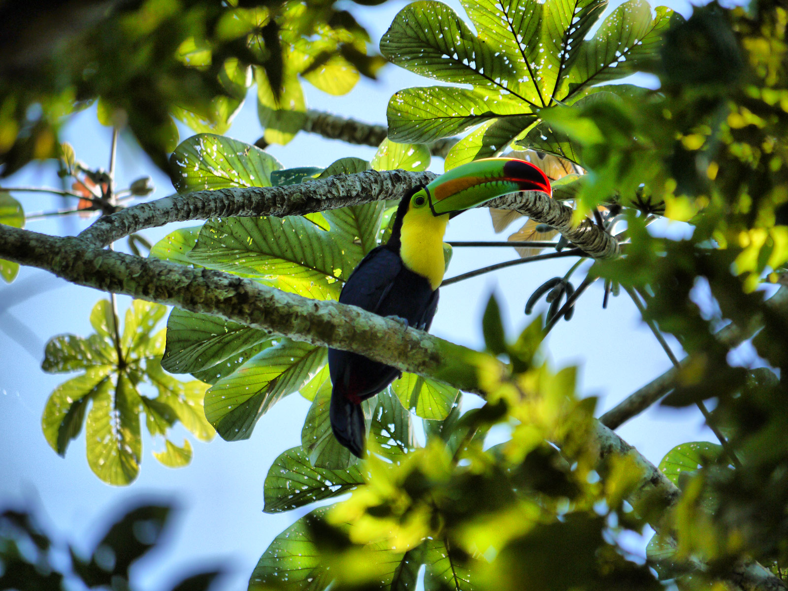 Look Up and Look Out for Toucans - Belize, Belize