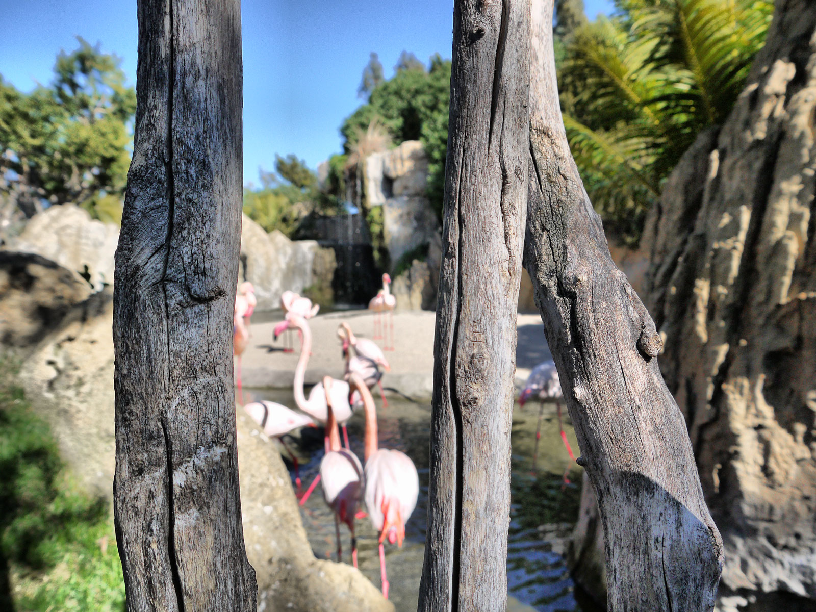 Peeping at The Flamingoes in the Bioparc - Valencia, Spain